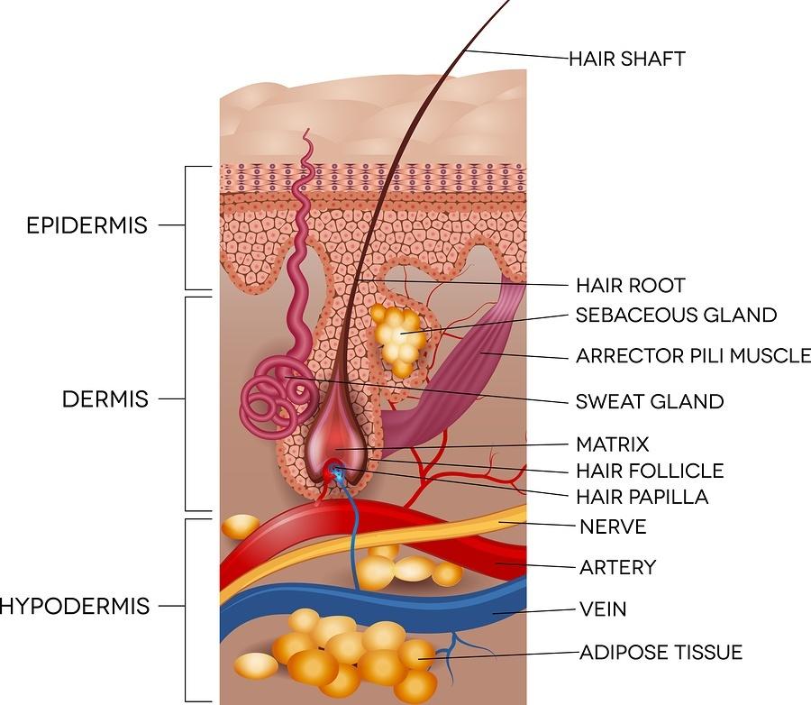 http://hairfreelife.com/wp-content/uploads/2015/02/bigstock-Labeled-Skin-And-Hair-Anatomy-81989468.jpg